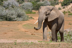 Young elephant smelling the air Royalty Free Stock Photos