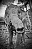 Young Elephant Smelling the Lens of Camera. Elephant shot on the island of ko phangan, thailand Royalty Free Stock Photo