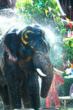 Young elephant splashing water. Royalty Free Stock Photo