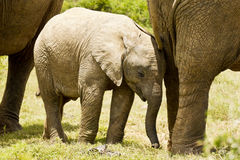 Young elephant standing between mom and dad's legs Royalty Free Stock Image