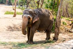 Elephant standing under a tree & eating grass with locked at toe by chain rope at zoo. A young elephant standing nearby tree with chain rope locked in national royalty free stock photo