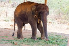 Elephant standing under a tree & eating grass with locked at toe by chain rope at zoo. A young elephant standing nearby tree with chain rope locked in national stock image
