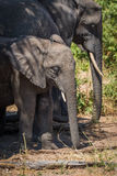 Young elephant standing in shade beside family Stock Images