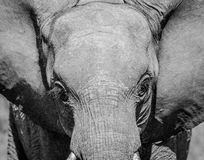 Young Elephant starring in black and white the Kruger National Park. Young Elephant starring in black and white in the Kruger National Park, South Africa stock photos