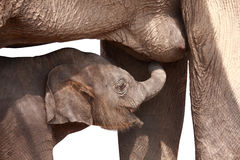 Young elephant suck up milk. From mother isolated on white Royalty Free Stock Photo
