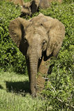 Young elephant between two bushes Stock Image