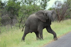 Young elephant Royalty Free Stock Photos