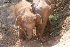 Young elephant use trunk to take soil on their body Royalty Free Stock Image