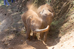 Young elephant use trunk to take soil on their body. To protect skin Royalty Free Stock Photo