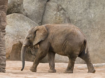 Young Elephant Walking. In a natural area Royalty Free Stock Image