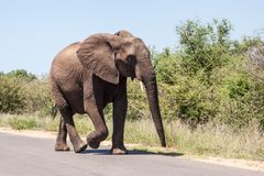 Young elephant walking along the road. A young elephant walking along the road in Kruger park, South Africa royalty free stock photos
