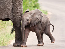 Young elephant walking with his mother Stock Photo