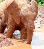 Young elephant walking into muddy water Stock Images