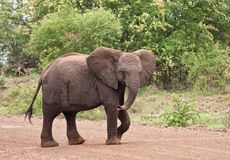 Young elephant walking over the road. Looking playful Royalty Free Stock Image