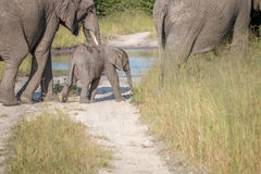 A young Elephant walking on the road. Royalty Free Stock Photos