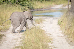 A young Elephant walking on the road. A young Elephant walking on the road in the Chobe National Park, Botswana Stock Photos