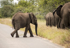 Young elephant walking to the group. Young elephant in wild nature crossing the road Royalty Free Stock Photo
