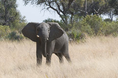 Young elephant in wild Royalty Free Stock Images