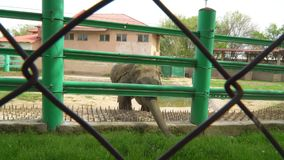 Elephant in the zoo. Young elephant in a zoo cage. Ð¡oncept - the lives of animals in captivity stock footage