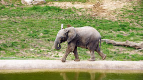 Young elephant in zoo de Beauval Stock Photos