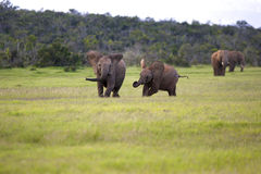 Young Elephants. Two young Elephants running towards the camera, Addo Elephant National Park Royalty Free Stock Images