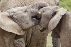 Young Elephants Stock Image