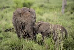 Young Elephants cuddling, Serengeti Royalty Free Stock Image