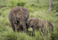 Young Elephants cuddling, Serengeti Stock Photos