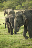 Young elephants eating grass Stock Photo