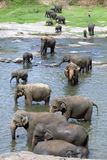 Young elephants from the Pinnawala Elephant Orphanage (Pinnawela) relax in the Maha Oya River. Royalty Free Stock Image