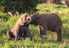 Young elephants play. Amboseli, Kenya. Young elephants play. Small elephant babies. Amboseli, Kenya Stock Photo