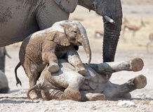 Young elephants playing. Royalty Free Stock Photo