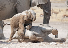 Young elephants playing. Royalty Free Stock Image