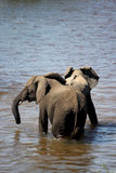 Young elephants playing in river Stock Image