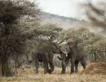 Young elephants playing, Serengeti, Tanzania Stock Photography
