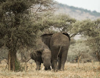 Young elephants playing, Serengeti, Tanzania Royalty Free Stock Photo