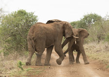 Young Elephants playing Royalty Free Stock Image