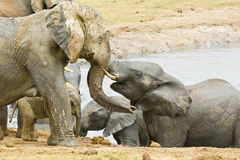 Young elephants in a waterhole Royalty Free Stock Image