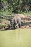 Young Elephas maximus in drinking. A Young Elephas maximus in drinking Stock Images