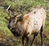 Young elk. Buck with broken antlers Royalty Free Stock Images