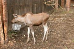 Young elk Stock Photos