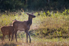 Young Elk at Attention Royalty Free Stock Photos