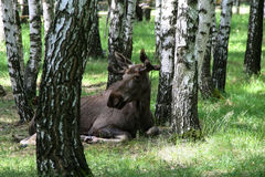 Young elk Royalty Free Stock Image