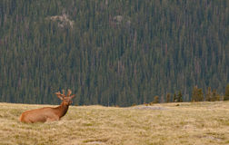 Young Elk Rests on a Hill Royalty Free Stock Photo