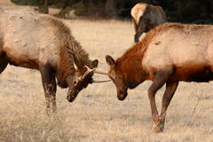 Young Elk Bulls Sparring Stock Photography