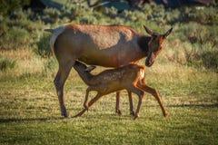 Young elk calf nursing in Mammoth Hot Springs royalty free stock images