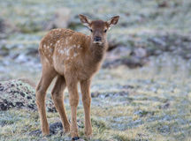 Young elk close up photo Stock Image