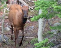 Free Young Elk Cow In Forest Royalty Free Stock Image - 108969986