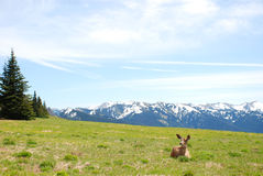 Young Elk Doe on Hurricane Ridge Royalty Free Stock Photos