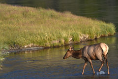 Female elk in stream, Yellowstone National Park. Female elk walking into stream in Yellowstone National Park on sunny day Stock Photography